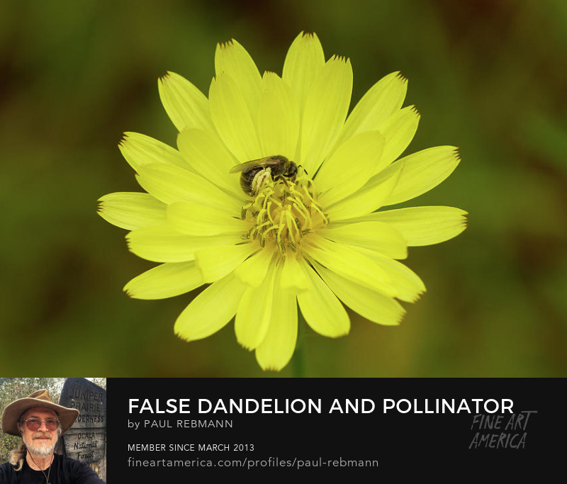 View online purchase options for False Dandelion and Pollinator by Paul Rebmann