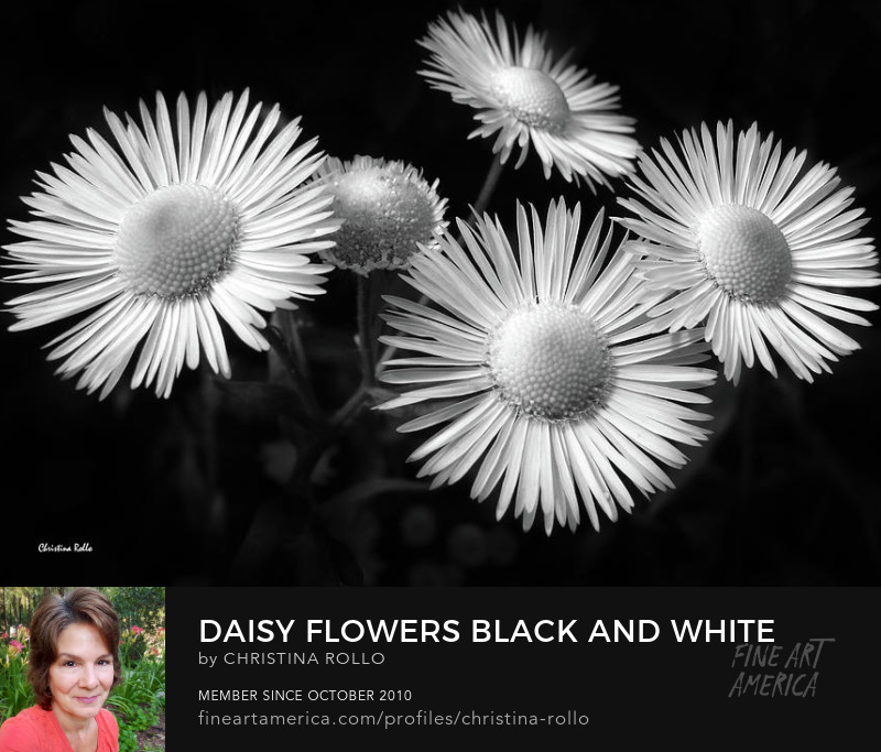 Daisy Flowers Black and White Canvas Art for Sale