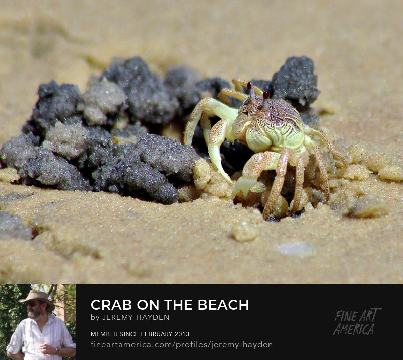 Crab on the beach prints and merchandise for sale