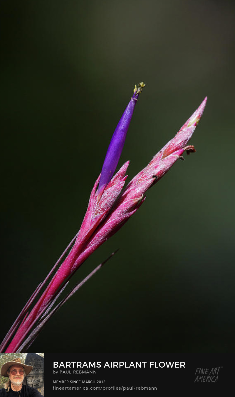 View online purchase options for Bartram's Airplant Flower by Paul Rebmann