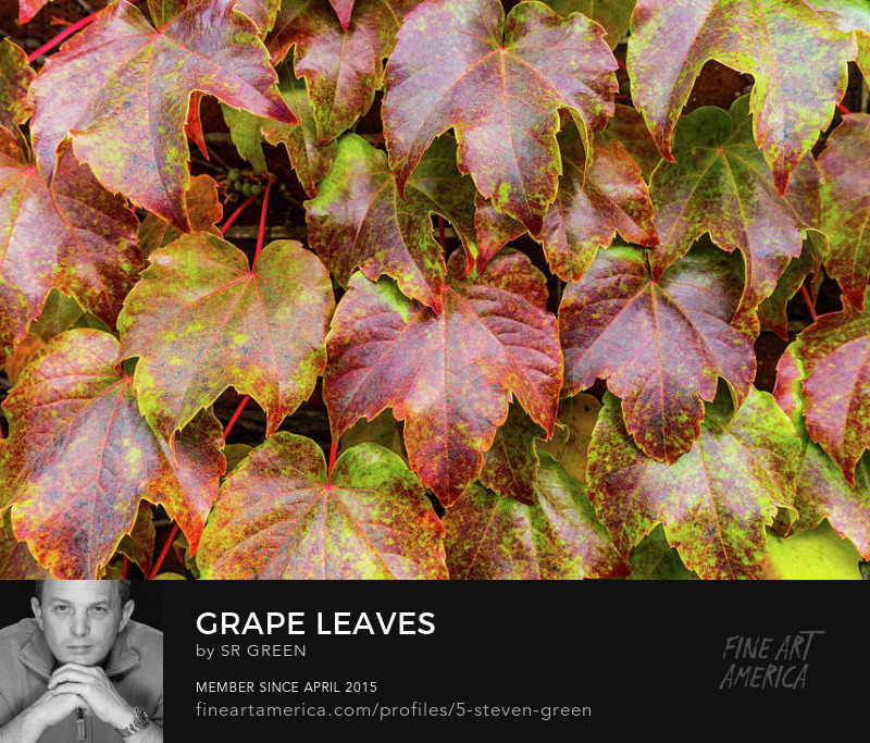 Grape Leaves Photograph by Steven Green