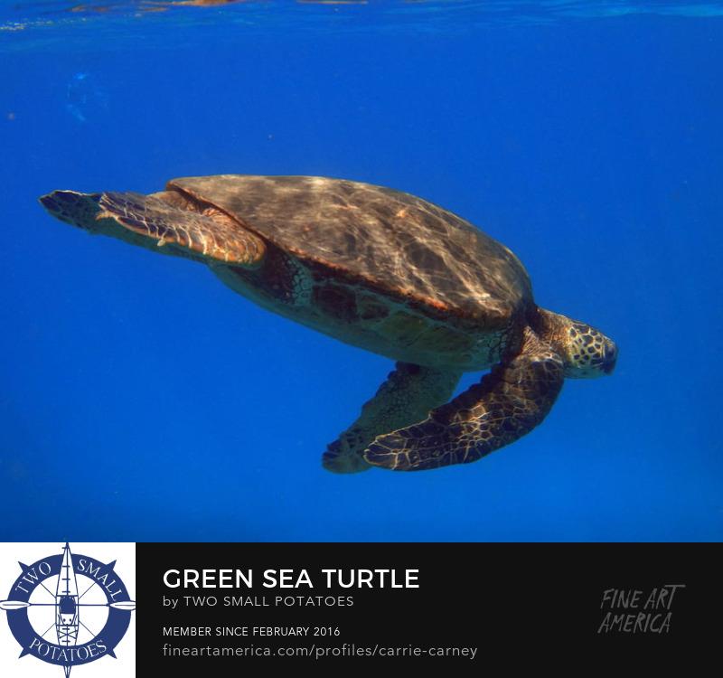 Green Sea Turtle print for sale on Fine Art America