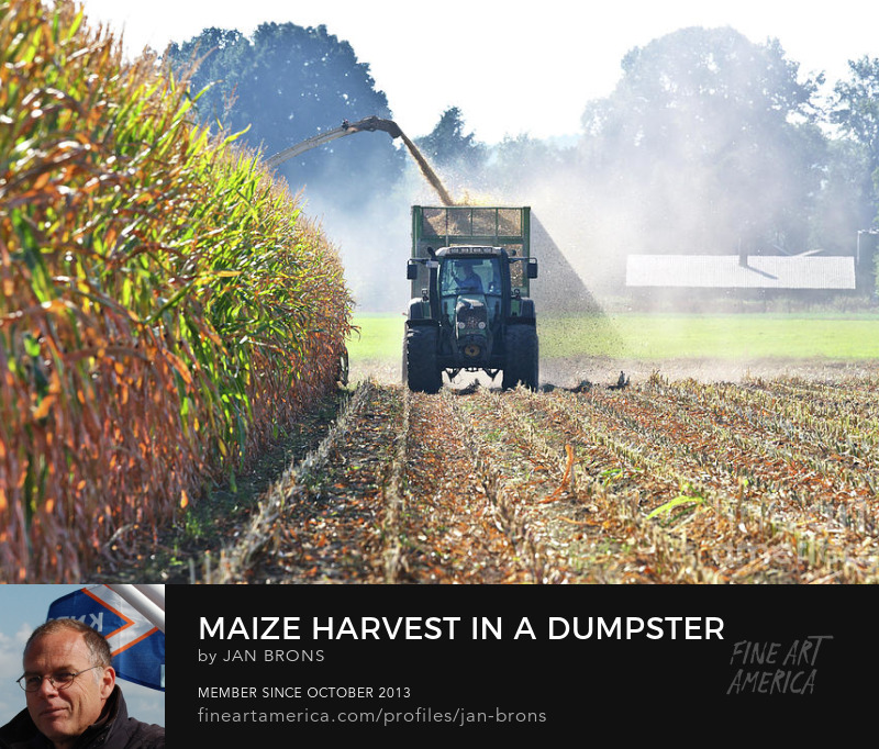 Maize harvest in a dumpster with tractor - Photography Print