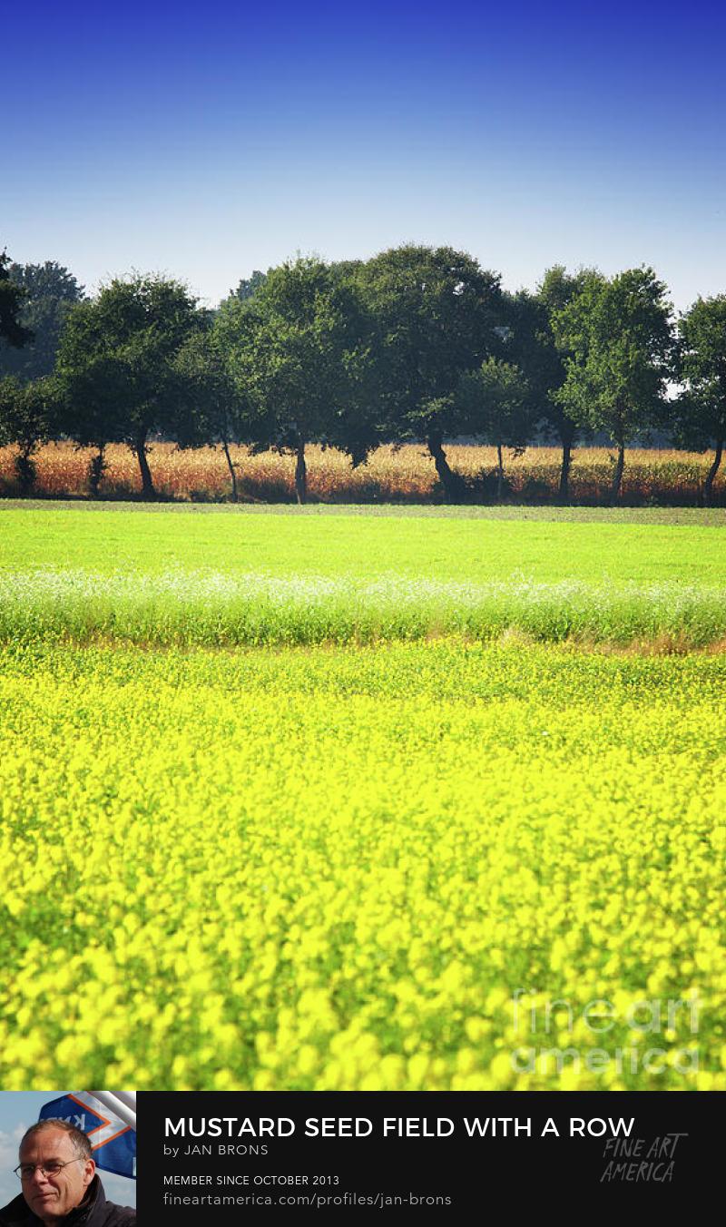 Mustard seed field with a row of trees and maize - Photography Print