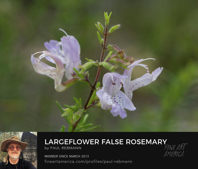 View online purchase options for Largeflower False Rosemary Flowers by Paul Rebmann