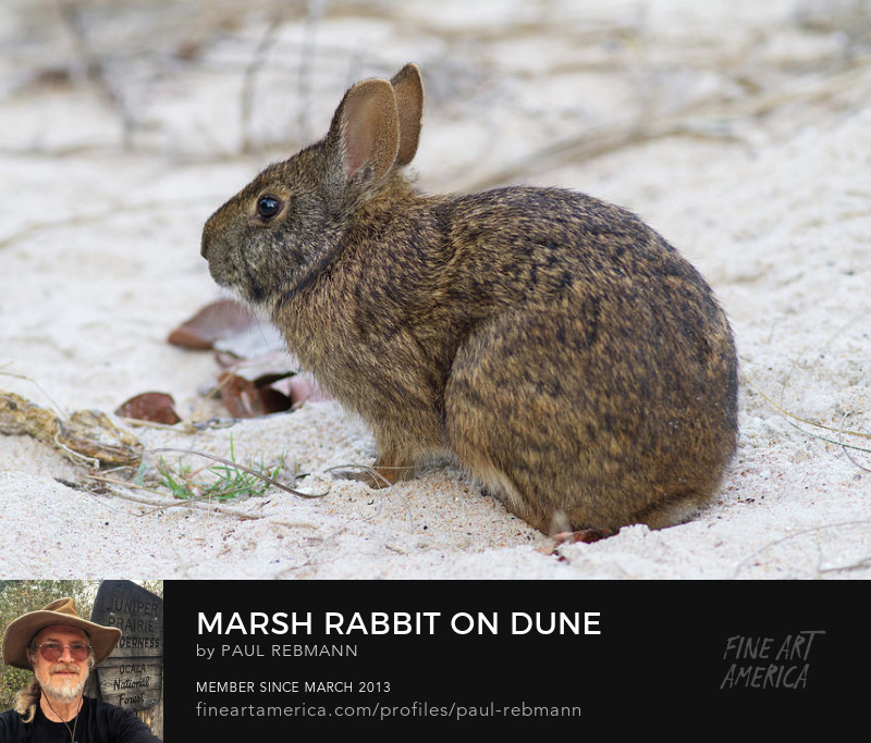 View online purchase options for Marsh Rabbit on Dune by Paul Rebmann