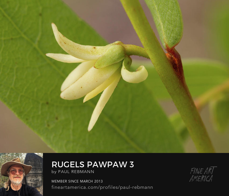 View online purchase options for Rugel's Pawpaw #3 by Paul Rebmann