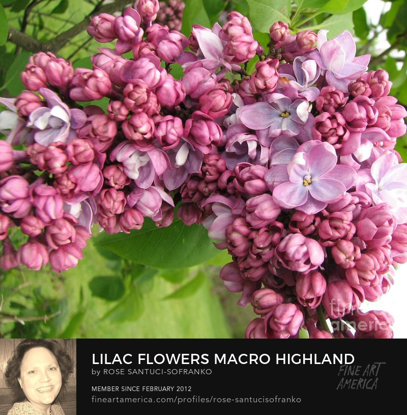 Lilac Flowers Macro Highland Park Rochester New York Photography Prints