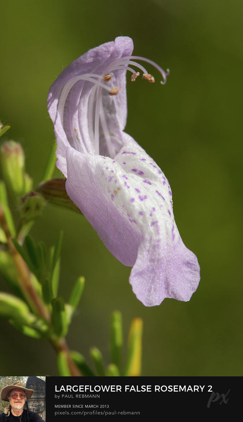View online purchase options for Largeflower False Rosemary #2 by Paul Rebmann