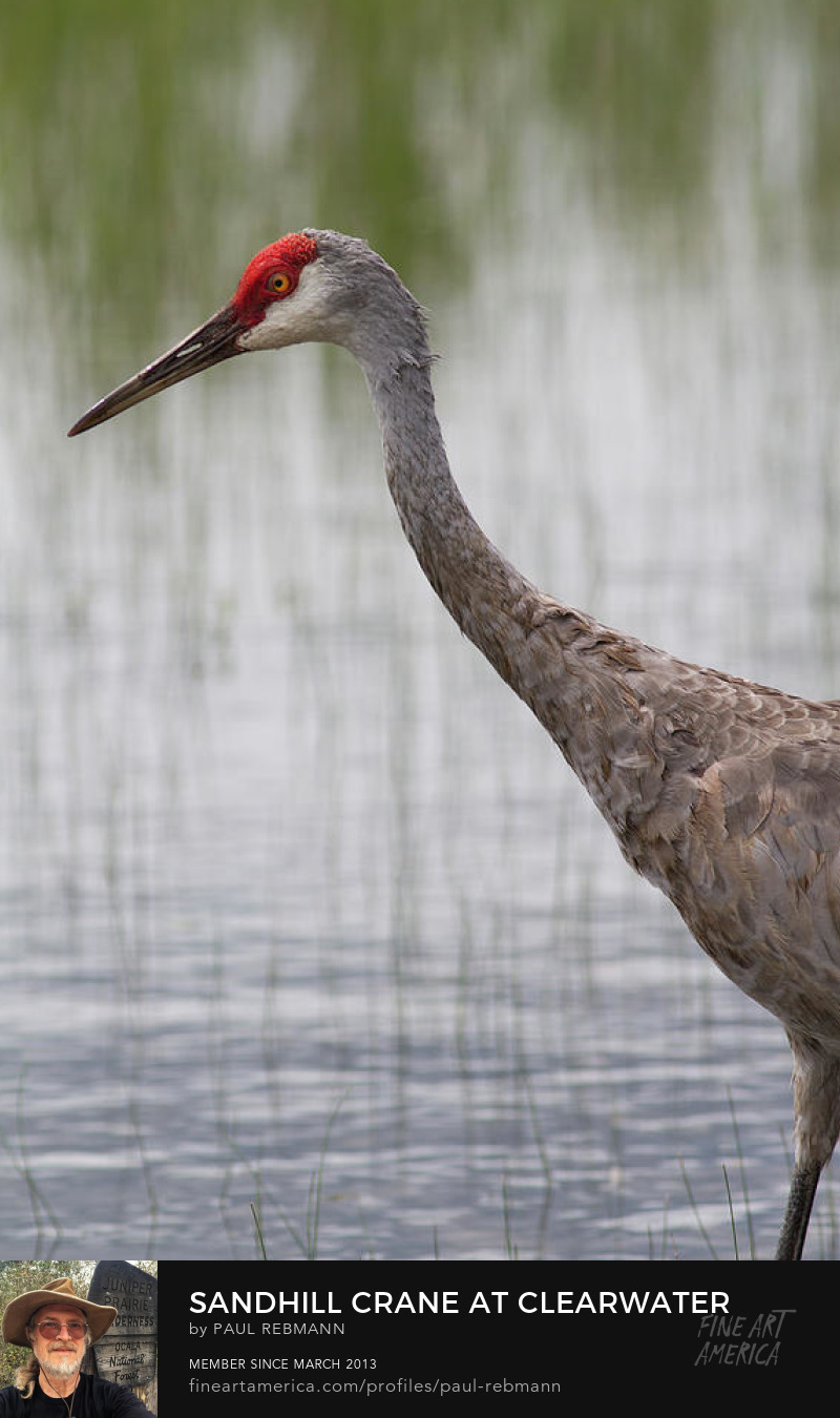 View online purchase options for Sandhill Crane at Clearwater Lake by Paul Rebmann