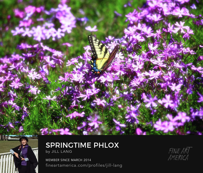 Swallowtail in the Spring Phlox