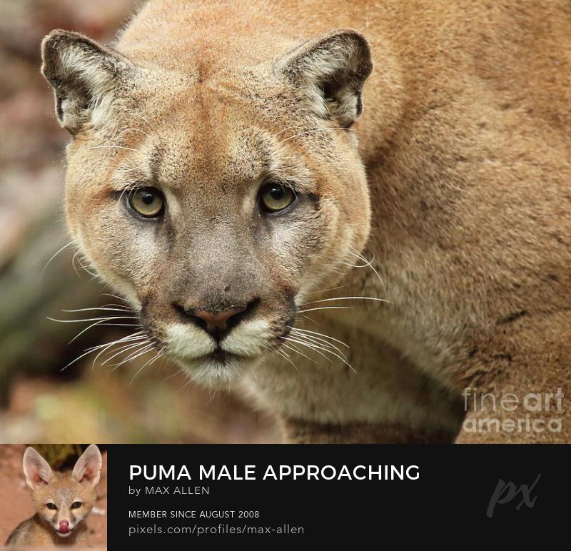 Male Puma