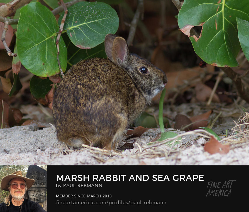 View online purchase options for Marsh Rabbit and Sea Grape by Paul Rebmann