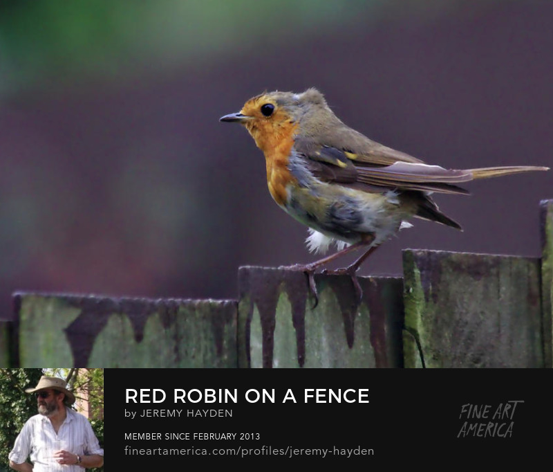 Red Robin on a Fence. Buy canvasses, prints, mugs, towels and more.