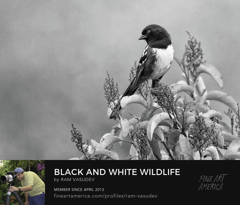 Spotted Towhee in Black and White Fineart