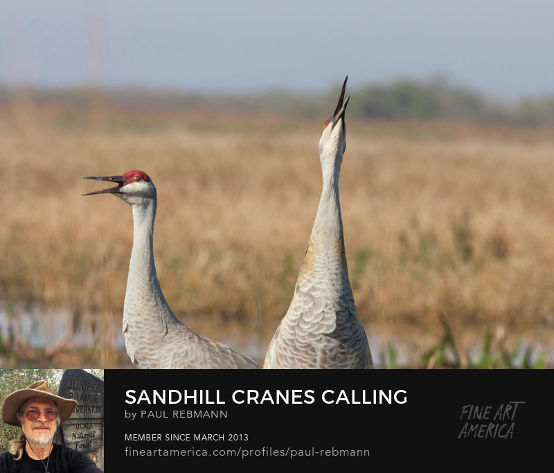 View online purchase options for Sandhill Cranes Calling by Paul Rebmann
