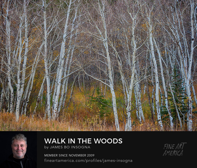 Walk In The Woods Aspen Forest Photography Prints