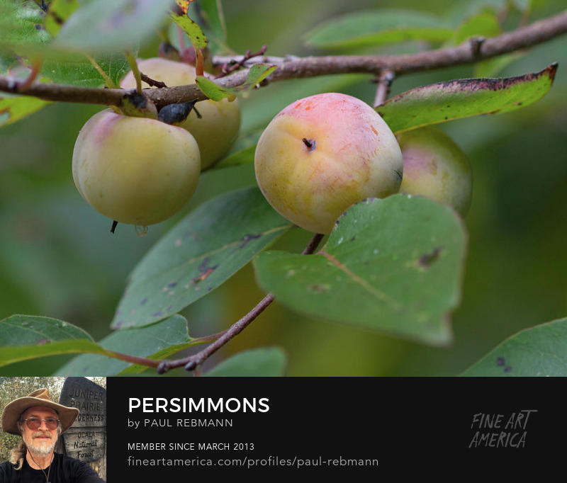 View online purchase options for Persimmons by Paul Rebmann