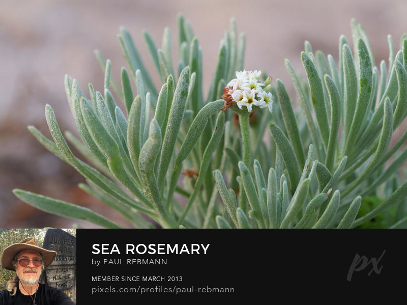 View online purchase options for Sea Rosemary by Paul Rebmann