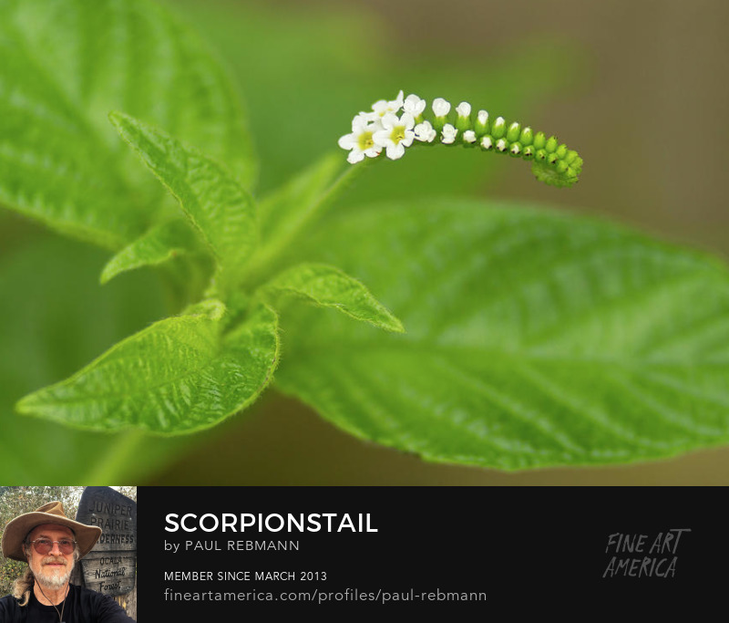 View online purchase options for Scorpionstail by Paul Rebmann
