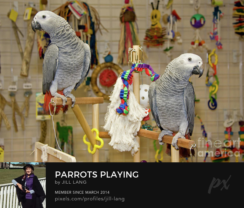 African Grey parrots playing in a pet store