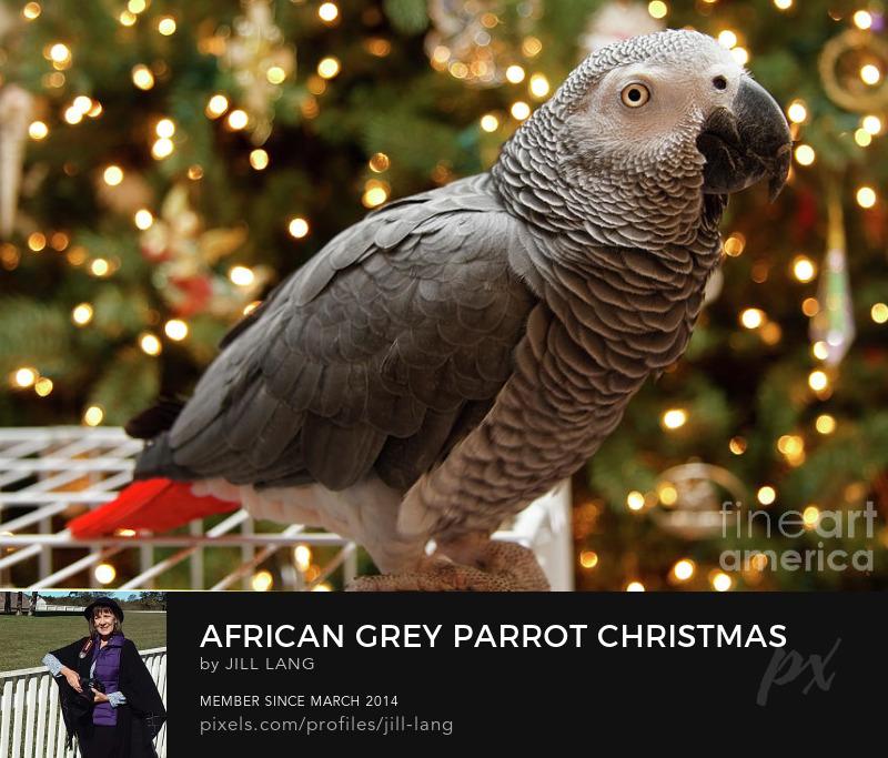 African Grey at Christmas