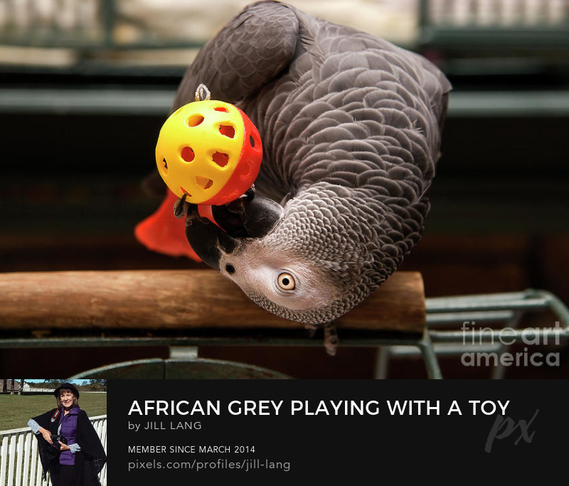 African Grey playing with a toy ball
