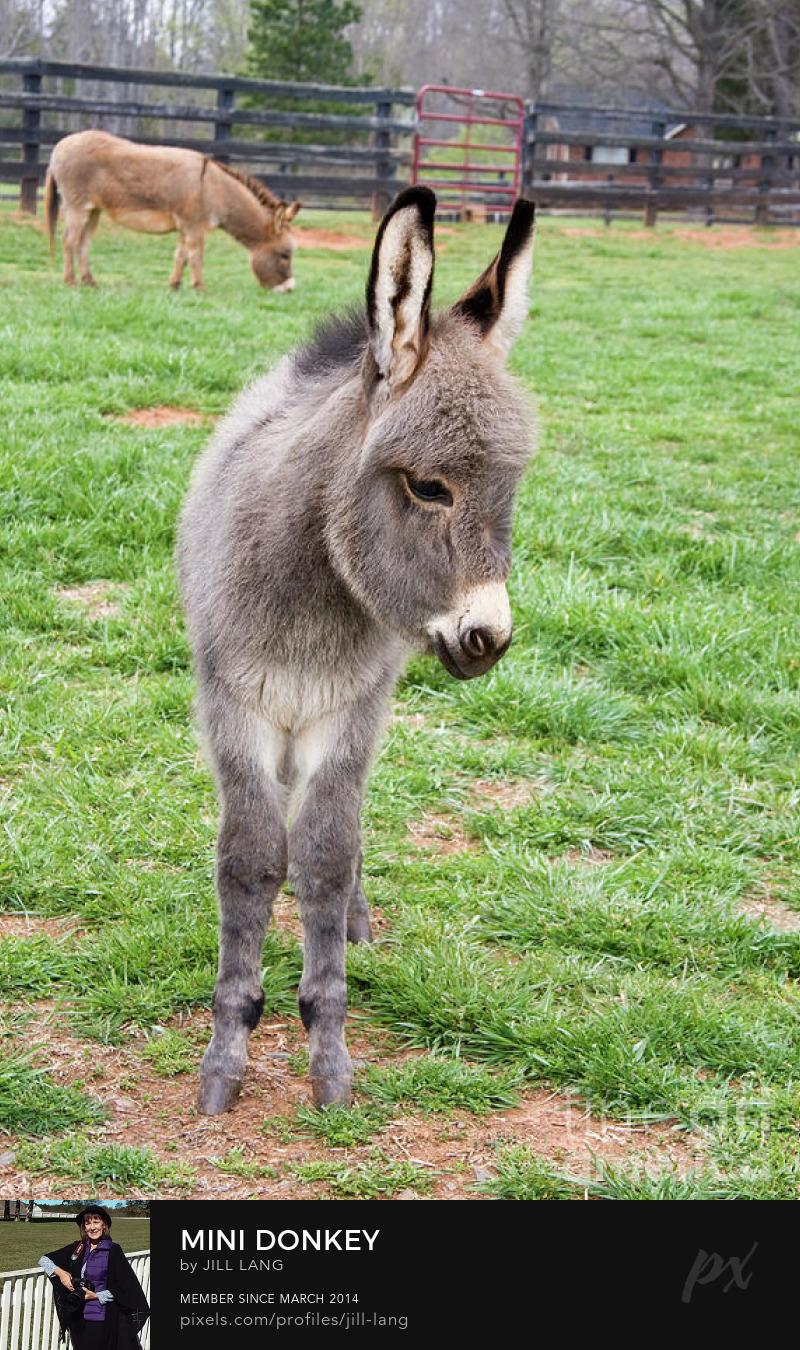 Baby mini donkey