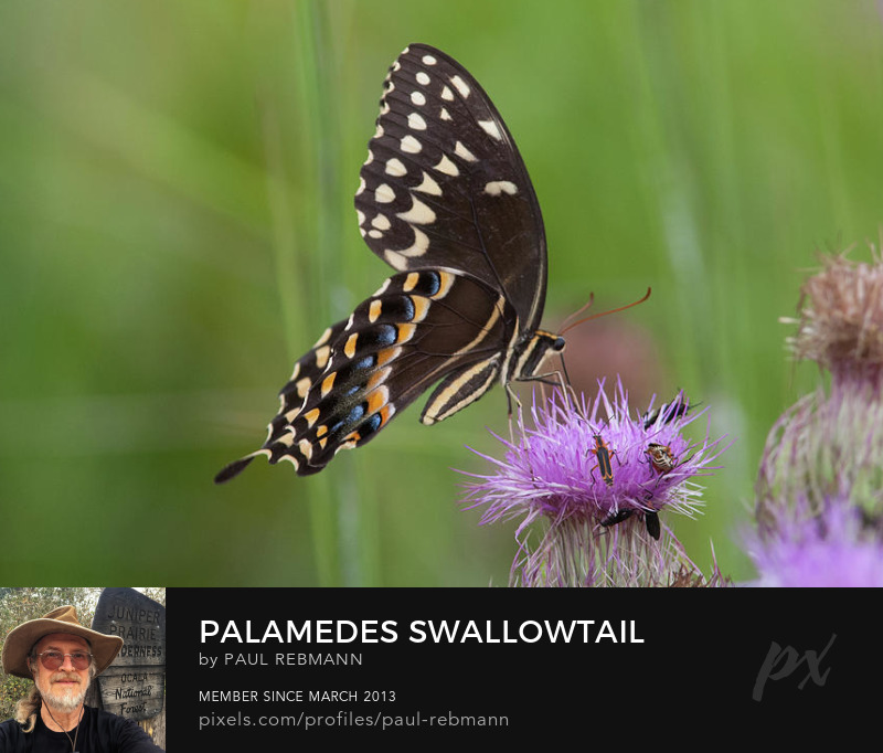 View online purchase options for Palamedes Swallowtail and Friends by Paul Rebmann