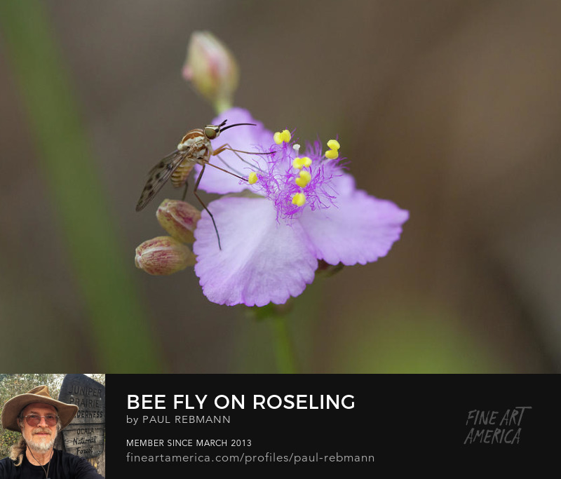Bee Fly on Roseling by Paul Rebmann