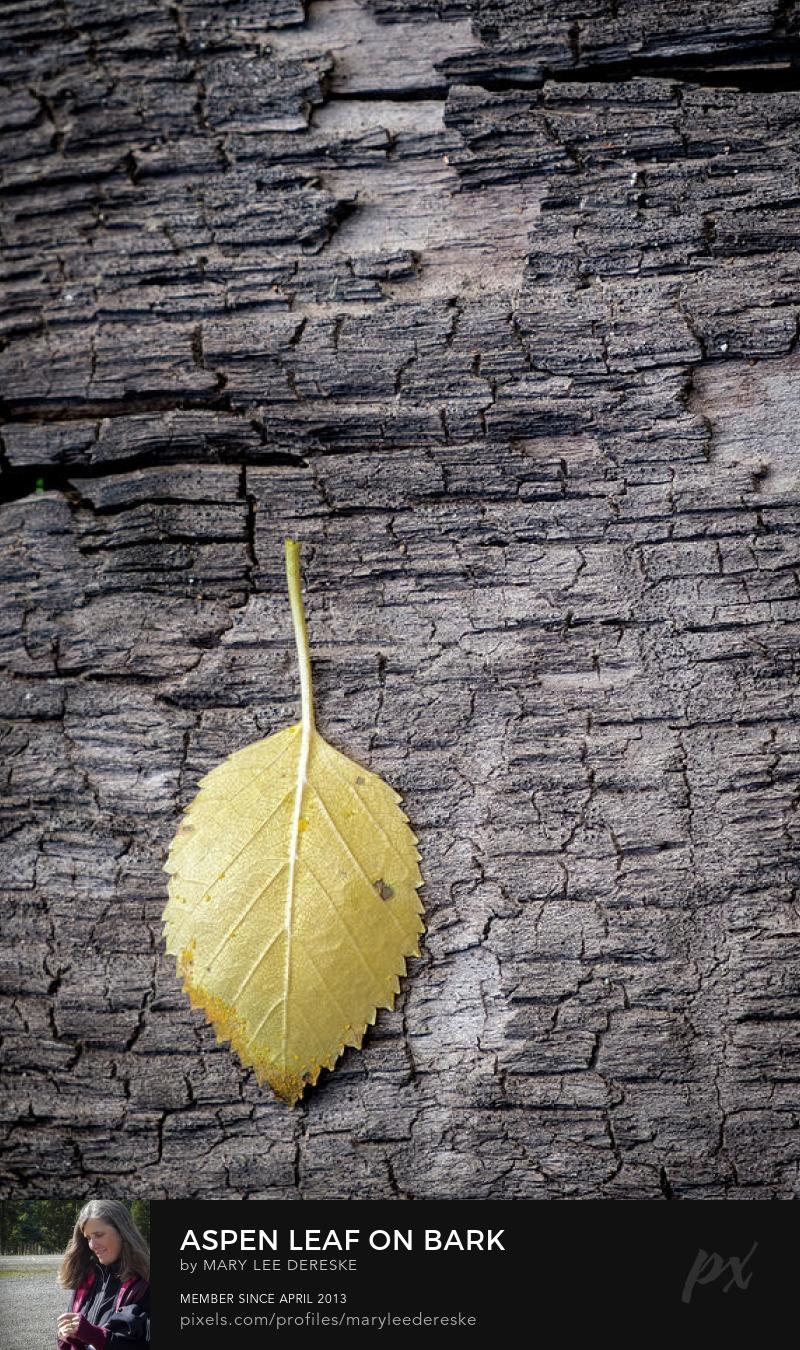 aspen-leaf-on-bark-mary-lee-dereske