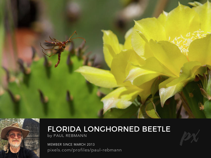View online purchase options for Florida Longhorned Beetle and Cactusflower by Paul Rebmann