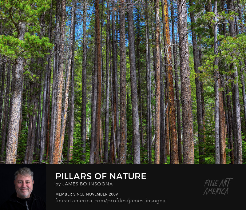 Pillars Of Nature Pine Tree Forest Photography Prints