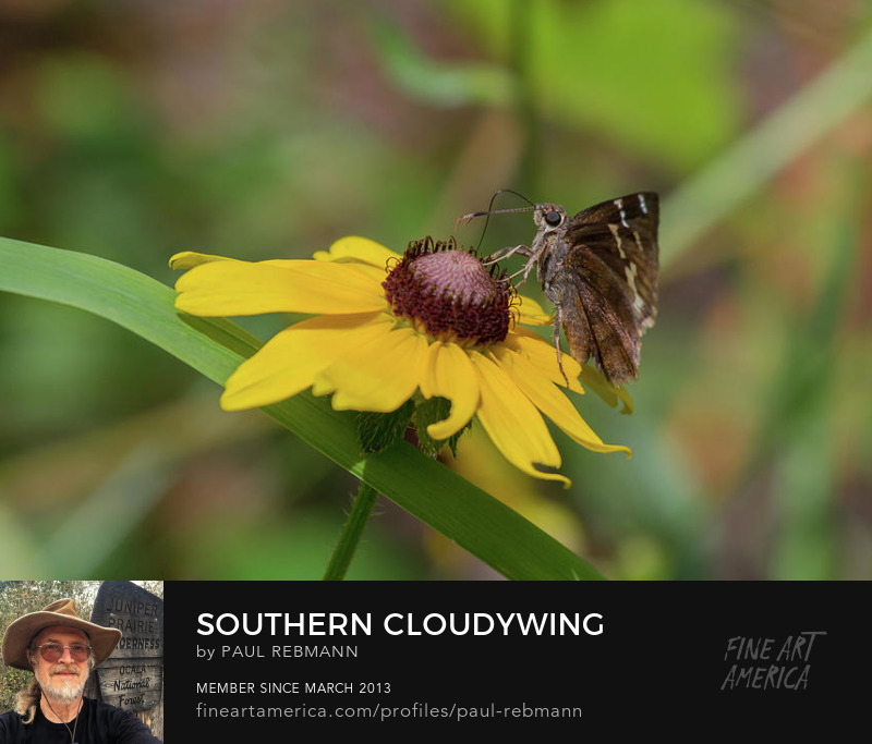View online purchase options for Southern Cloudywing On Blackeyed Susan by Paul Rebmann