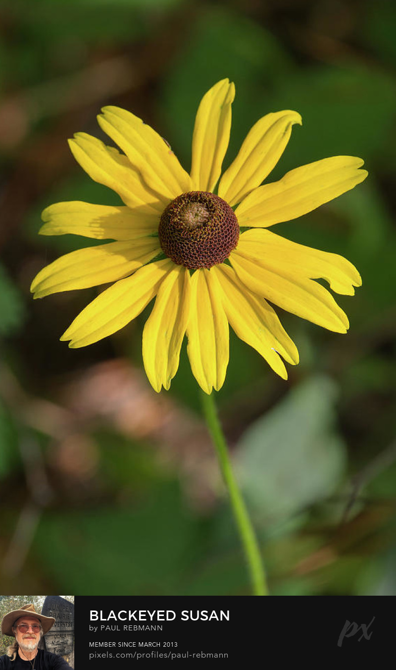 View online purchase options for Blackeyed Susan by Paul Rebmann