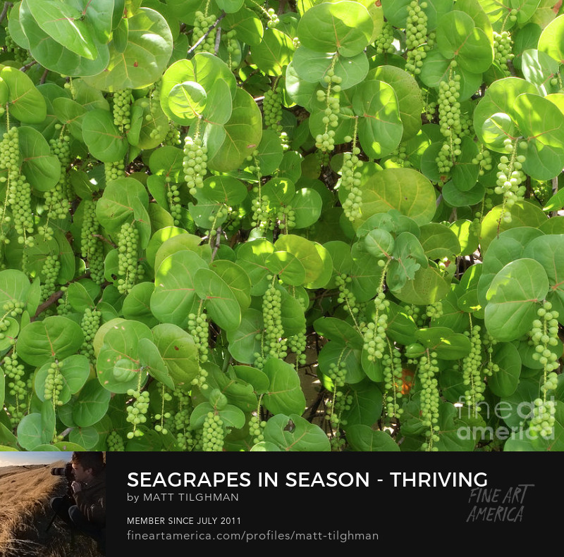 Seagrape Coccoloba Uvifera Photography Prints