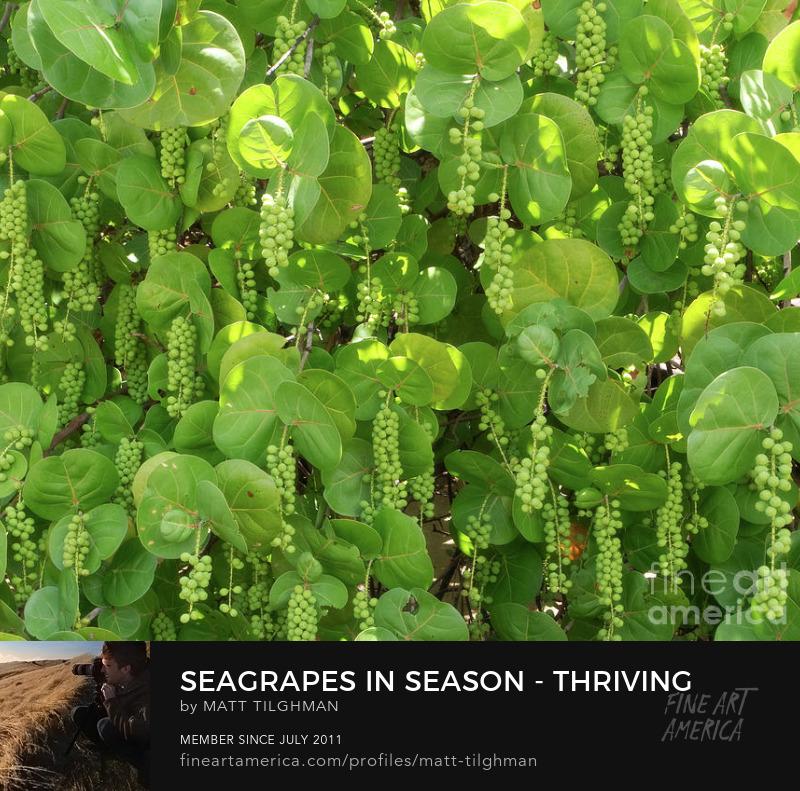 Seagrape Coccoloba Uvifera Photography Prints