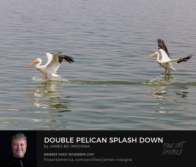 Double Pelican Splash Down Art Prints