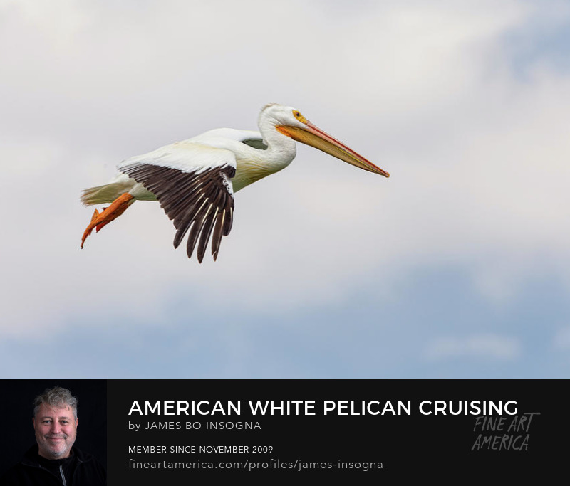 American White Pelican Cruising Art Prints