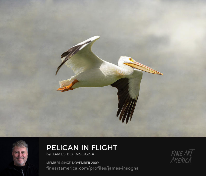 Pelican In Flight Fine Art Prints
