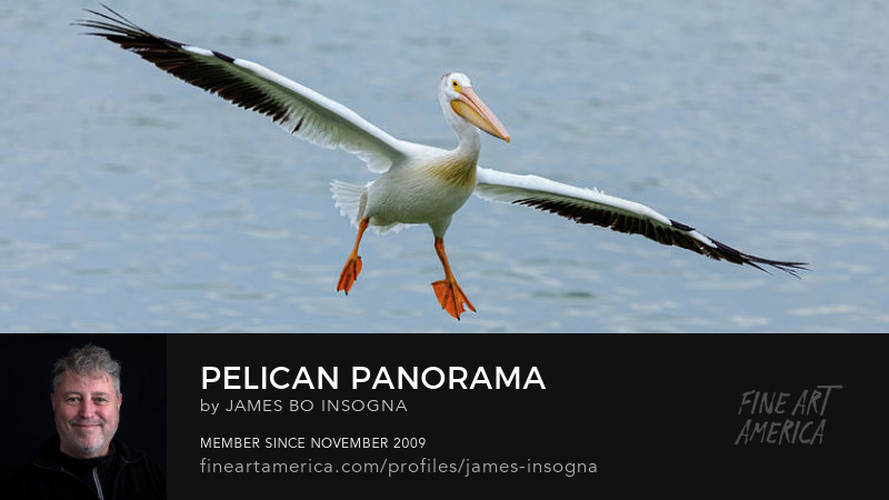 American White Pelican Panoram Art Prints