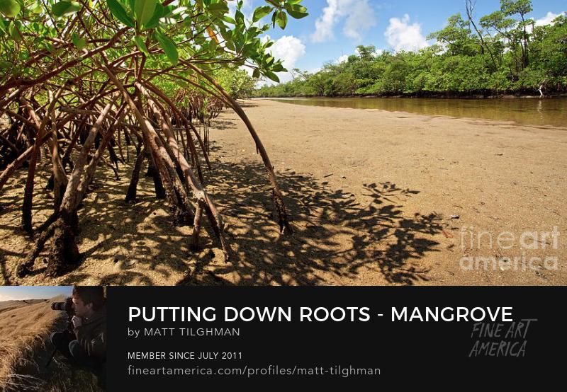 Florida Mangrove Coast Art Online