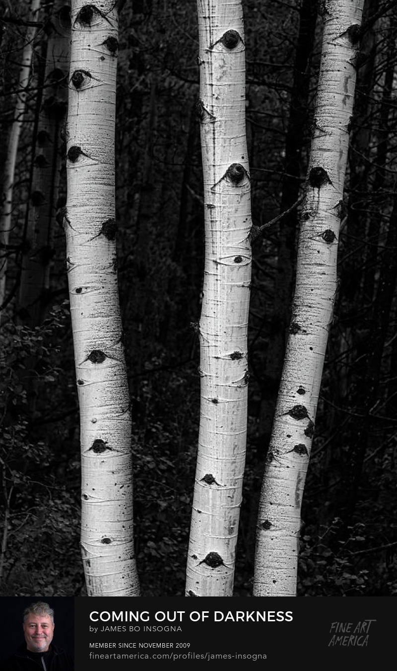 Black and White Aspen Trees Forest Photography Prints