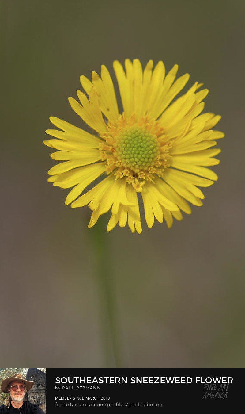 View online purchase options for Southeastern Sneezeweed Flower by Paul Rebmann