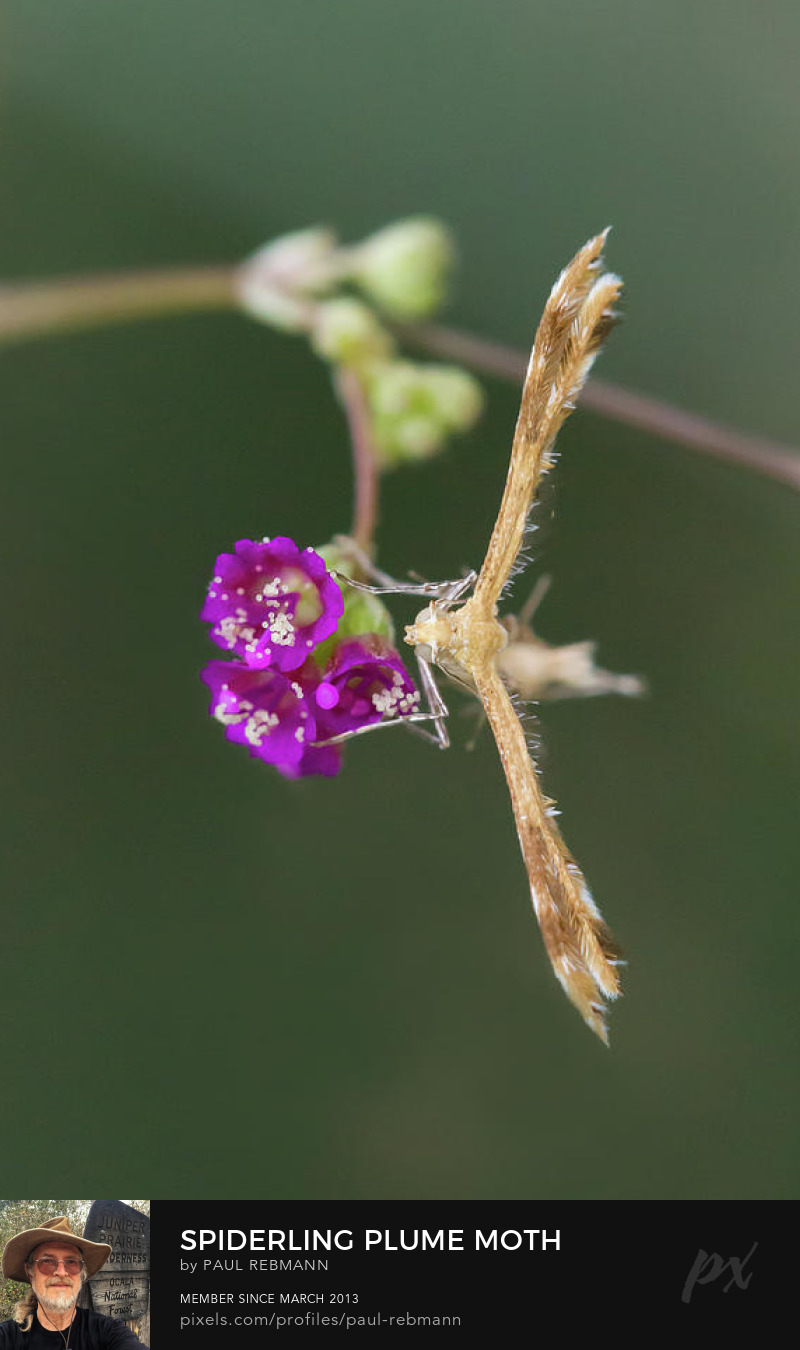 View online purchase options for Spiderling Plume Moth on Wineflower by Paul Rebmann