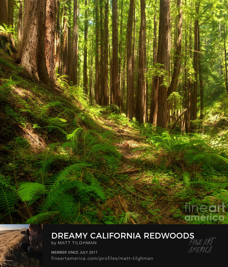 California Redwoods Art Prints