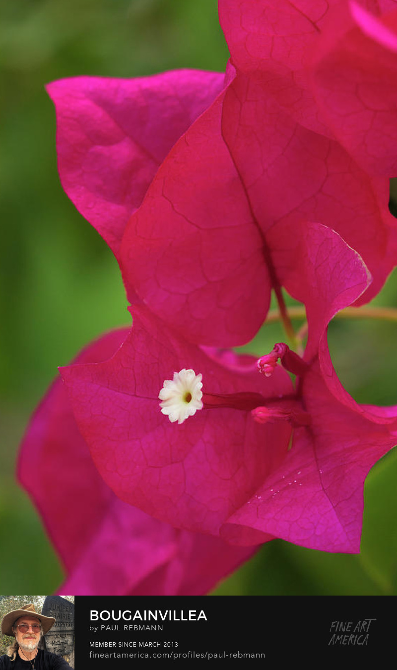 View online purchase options for Bougainvillea by Paul Rebmann