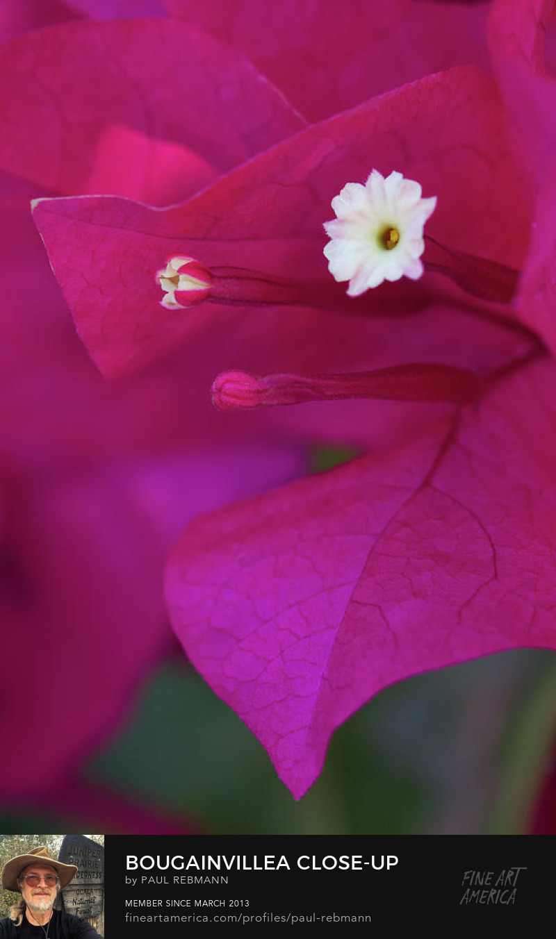 View online purchase options for Bougainvillea Close-up by Paul Rebmann