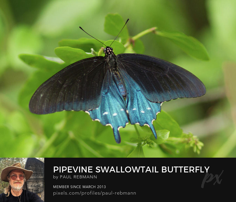 View online purchase options for Pipevine Swallowtail Butterfly by Paul Rebmann