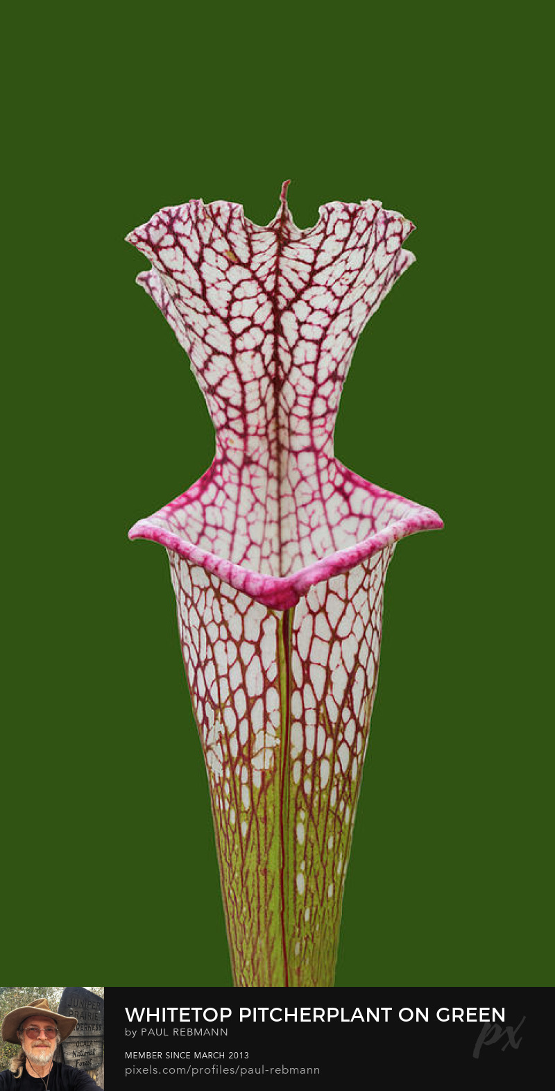 View online purchase options for Whitetop Pitcherplant on Green by Paul Rebmann